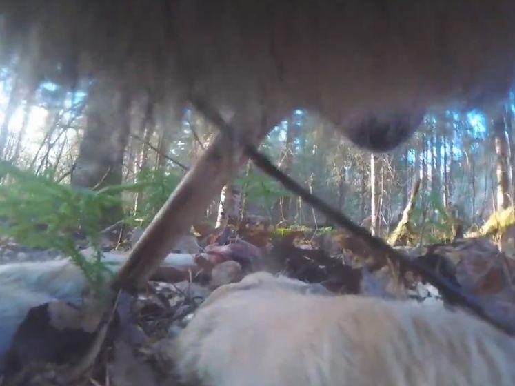 Halsbandcamera geeft unieke inkijk in het leven van deze wolf