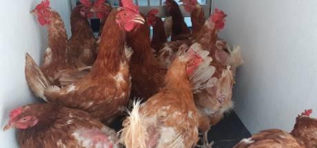 Sterk vermagerde kippen gedumpt in bos: 'Ze zaten daar zonder water'