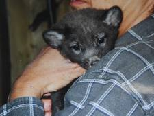 Eigenaren nertsenfarm Wilbertoord hielden vossen voor de hobby, toch gaan ze naar een dierenpark