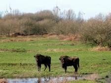 Drie nieuwe bewoners van de Slikken van De Heen zijn nog wat onwennig: 'Ze zoeken elkaar, het zijn kuddedieren'