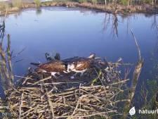 En dat is drie... webcam-visarend in de Biesbosch legt opnieuw een ei