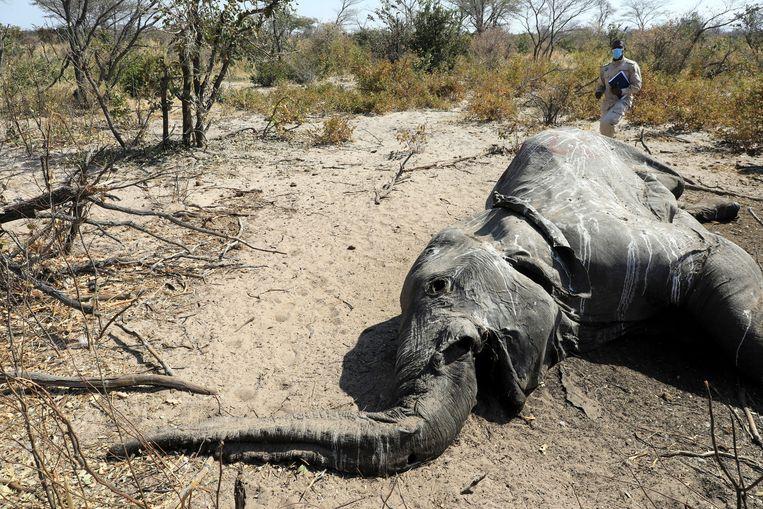 Een onderzoeker bij het karkas van een overleden olifant.  Beeld REUTERS