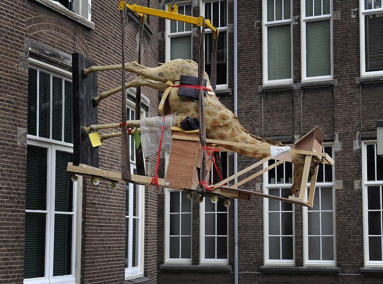2011-07-12 AMSTERDAM - Een niet-alledaagse verhuizing is dinsdag gaande bij het Zoologisch Museum in Amsterdam, waar een opgezette giraffe op reis gaat naar het natuurhistorisch museum Naturalis in Leiden. Een tweeenhalve meter grote bruine beer en een orang-oetan gaan ook mee. ANP TOUSSAINT KLUITERS Beeld ANP