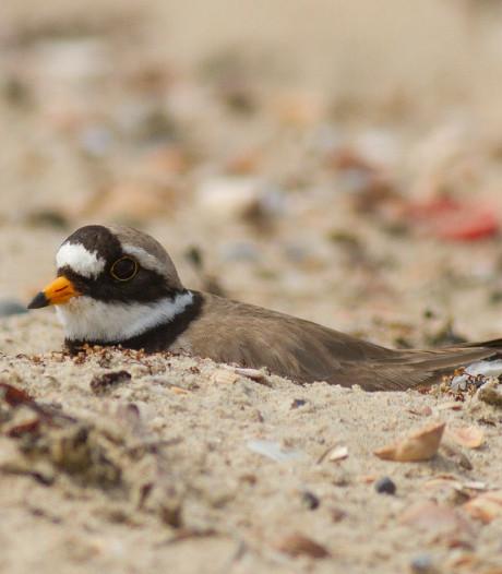 Broedende bontbekplevieren verlaten nestjes bij Oranjezon