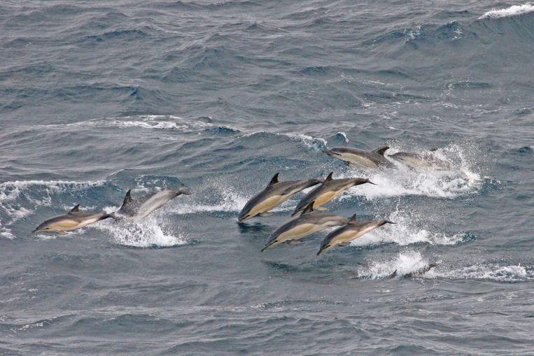 Archieffoto. Gewone dolfijnen in de Noordzee.