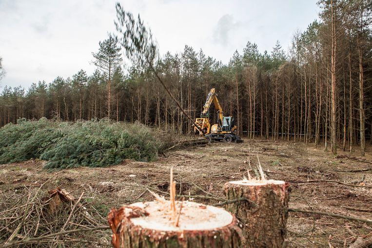 Staatsbosbeheer kapt een voormalig sparrenbos in het Nationaal beek- en esdorpenlandschap Drentsche Aa.  Beeld Harry Cock / de Volkskrant