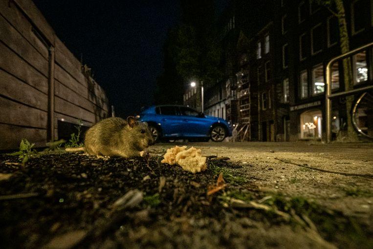 Aan de De Ruijterkade hoek Oosterdokskade duiken ratten op. Beeld Dingena Mol
