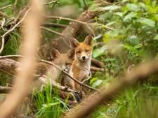 Nieuwsgierige reeën en vossen veroveren de stad en vogels hoeven niet te vechten om een nest-struikje