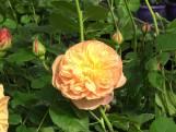 Een roos met de smaak van tropische vruchten? Dat kan!