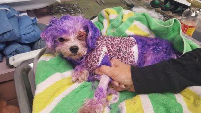 """Hondje onder de zware brandwonden door nieuwe """"hippe"""" haarkleur"""
