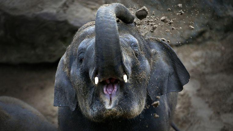 De moederolifant die weg moet uit Dierenpark Emmen. Beeld anp