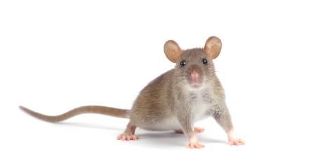 Dordrecht pakt groeiend rattenprobleem aan