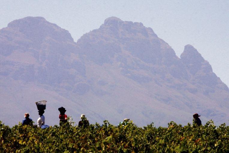 Wijngaard met op de achtergrond de Simonsberg. (FOTO AFP) Beeld
