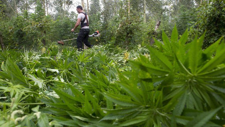 Met een bosmaaier worden achttienduizend cannabisplanten in een bos bij het Limburgse Reuver geruimd. Beeld anp