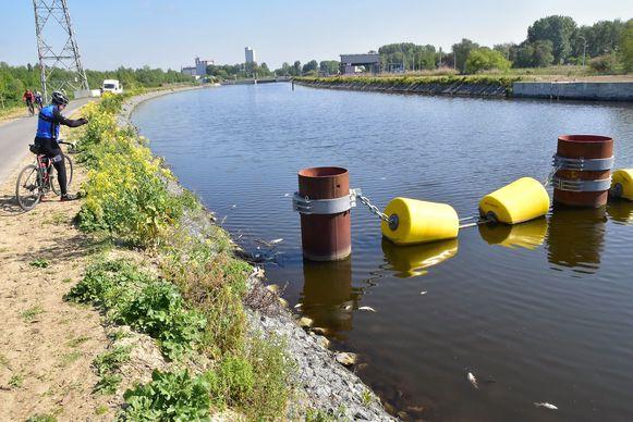 De hoeveelheid dode vis die aangetroffen wordt in de Schelde in Kerkhove is beperkt.
