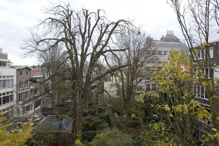De kastanjeboom op archiefbeeld in 2007. Beeld ANP