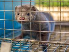 Bij Rios Mink in Rosmalen zijn na dertig jaar de laatste nertsen gevild: 'Heel blij dat het stopt'