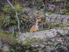 Vossenwelpjes trekken veel bekijks in Haagse bos: 'Maar blijf op de paden en houd honden aan de lijn'