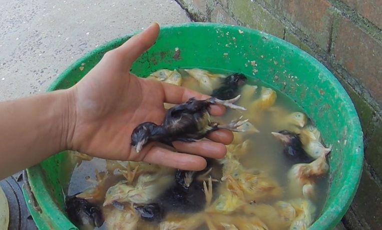 Afgekeurde kuikens zouden worden verdronken, volgens de video van Animal Rights. Beeld Animal Rights