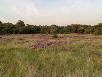 """Licht op groen? Eerder oranje knipperlicht"": gemeenten steunen dan toch kandidatuur Kalmthoutse Heide als Nationaal Park"