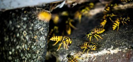 Wespen en hoornaars moeten 'diervriendelijk' bestreden worden, vindt Arnhemse gemeenteraad