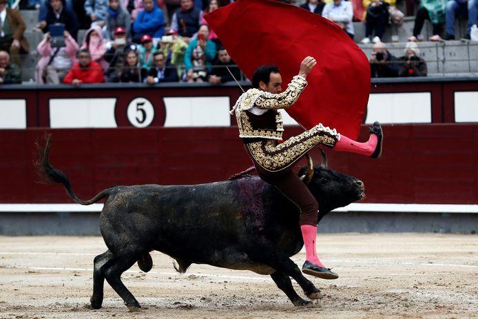 Stierenvechter Manuel Jesus krijgt het zwaar te verduren in de Madrileense arena.