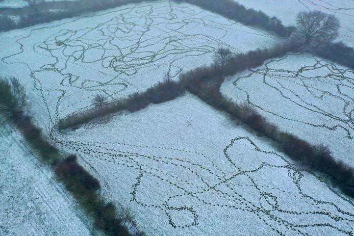 Dassensporen in de sneeuw in de Oeffelter Meent.