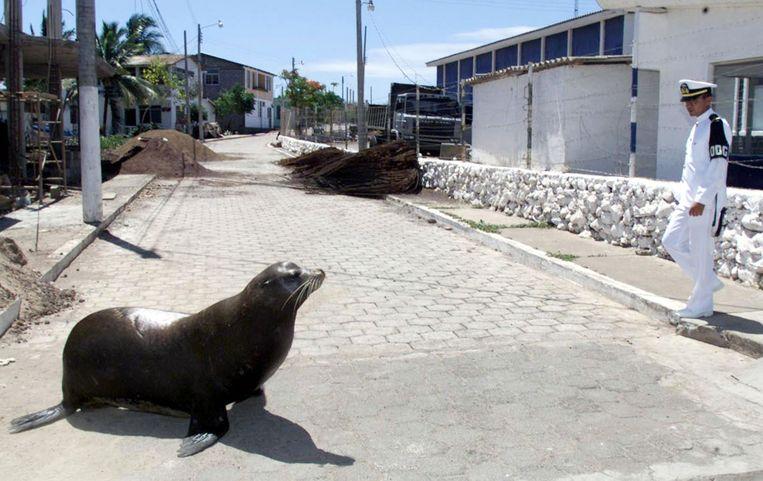 Een zeehond en een marinier kruisen mekaar in de straten op de Galapagoseilanden.