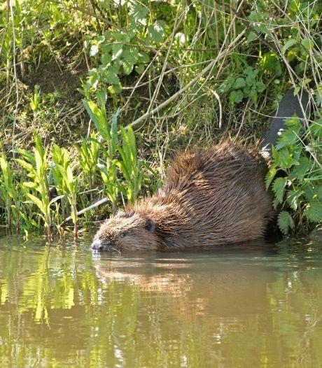 Ecoloog ziet eerste bever in de Berkel zwemmen en kan zijn ogen niet geloven: 'Fantastisch'
