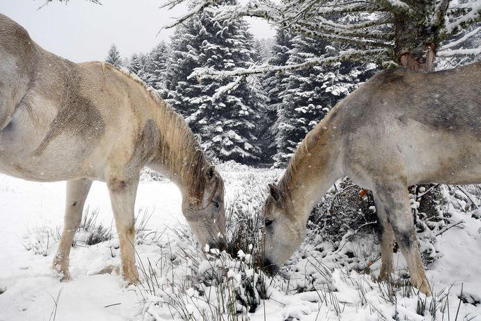 Paarden in de sneeuw in Payolle  in de Pyreneeën.