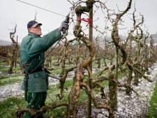 Sneeuw op de appelbloesem, dat is nieuw bij De Braacken in Goirle