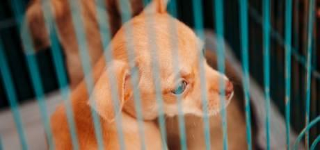 Bijna 300 honden gered uit illegale fokkerijen: 'fokkers sneden stembanden door'