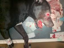 Politie over actie arrestatieteam tegen hond Tommy: 'Pijnlijk incident, onderzoek toezichtsorgaan'