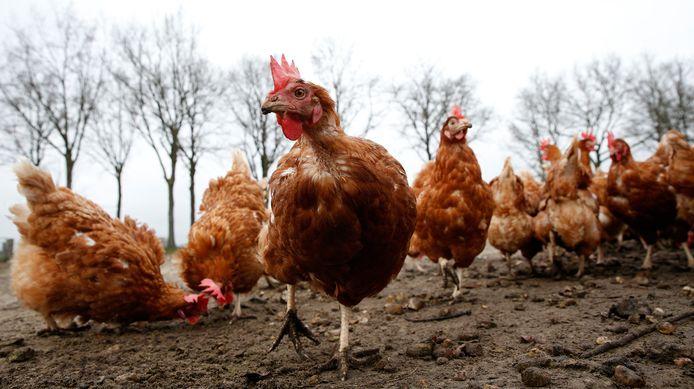 Foto ter illustratie. Landelijk geld nog altijd een ophokplicht voor commercieel gehouden pluimvee, vanwege de rondwarende vogelgriep