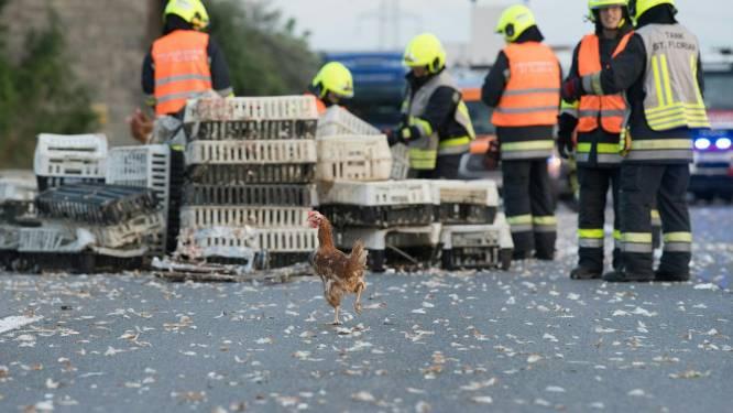 #ChickenRun: 7.000 kippen blokkeren snelweg in Oostenrijk