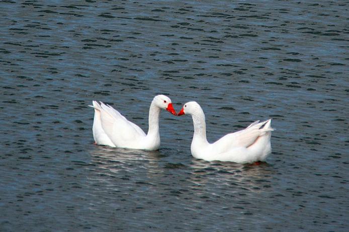 Stil genieten van deze 2 zwanen Lief voor elkaar