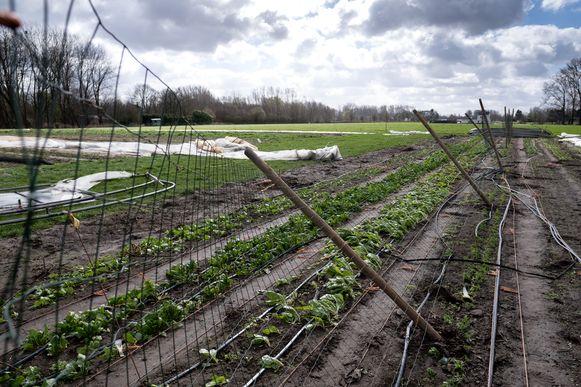 PUURS Het merendeel van de groenten van 't Lekkerland heeft het op het eerste zicht wonderbaarlijk overleefd