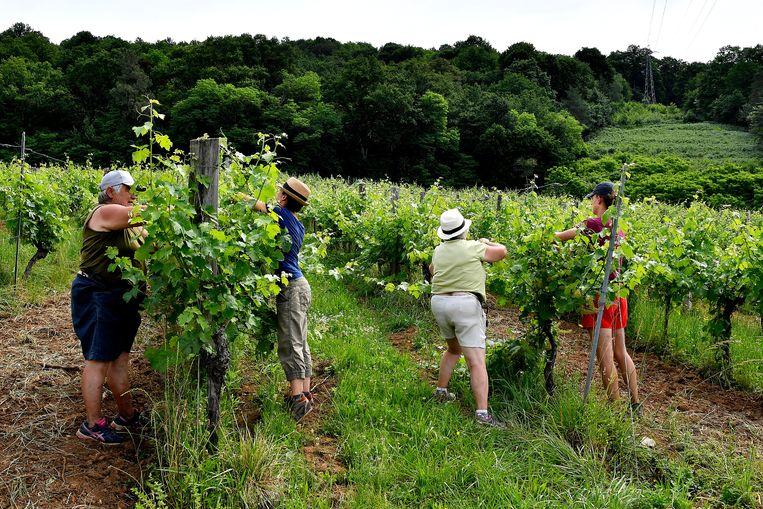 Werkende mensen op een wijngaard in Beaulieu-sur-Dordogne in Frankrijk.  Beeld Hollandse Hoogte / AFP