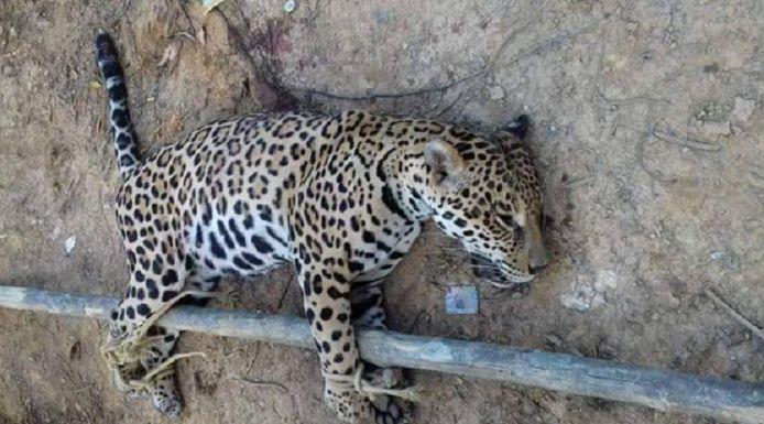 Een gedode jaguar aan een paal vastgebonden.