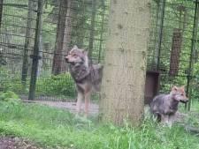 Twee wolven uitgebroken in DierenPark Amersfoort: 'Opeens liep hij bij ons op het pad'
