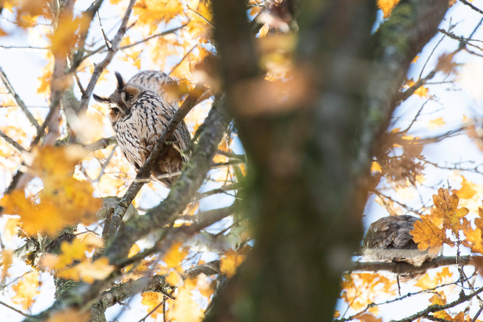 Ransuilen in een boom in Nijmegen-Oost.