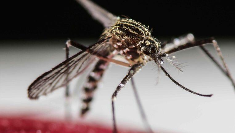 De Aedes Aegypti, één van de muggen die het zika-virus kan verspreiden. Beeld anp