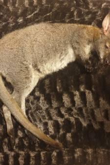 Rouwende wallaby in Putten getroffen door noodlot, na weken zwerven