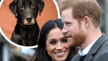Geen baby voor Harry en Meghan Markle, maar wel een nieuwe labrador