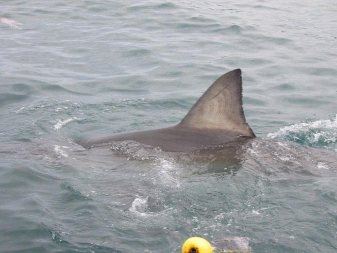 L'image originale d'un aileron de requin