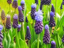 Wachten tot de lente? Nee hoor, deze druifjes kunnen wel wat vorst weerstaan