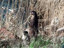 Verse sporen van Otters bij Apeldoorns Kanaal in Eerbeek: 'Heel bijzonder als hier populatie leeft'