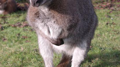 Tamme kangoeroe ontsnapt in Roosendaal
