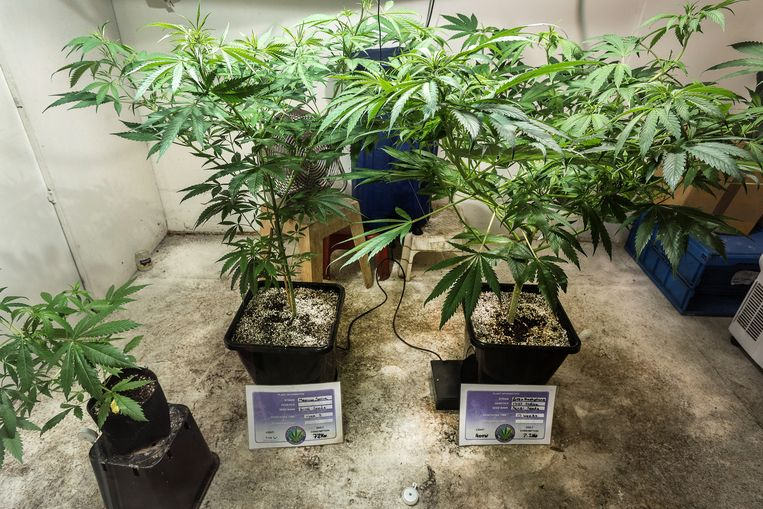 Wietteelt in de kelder van The Cannabis Company. Beeld ANP