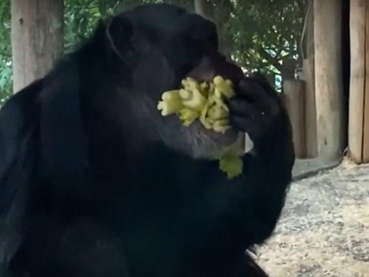Chimpansee Kumi is gek op bleekselderij